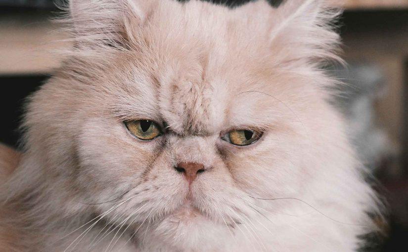 Persian cat | More Information