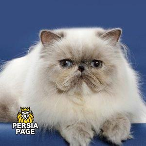 Persian Cat For Sale Los Angeles